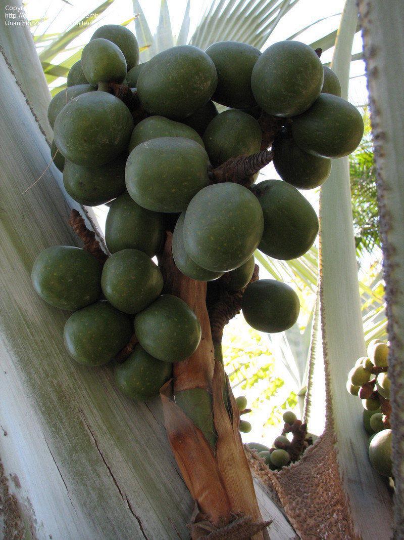 Polynesian Produce Stand Blue Bismark Palm Bismarckia