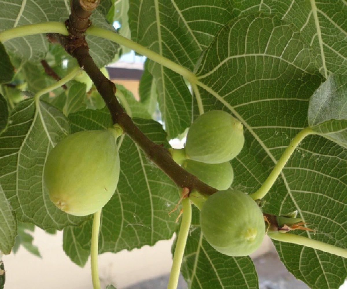 Polynesian Produce Stand Kadota Fig Tree White Fruits