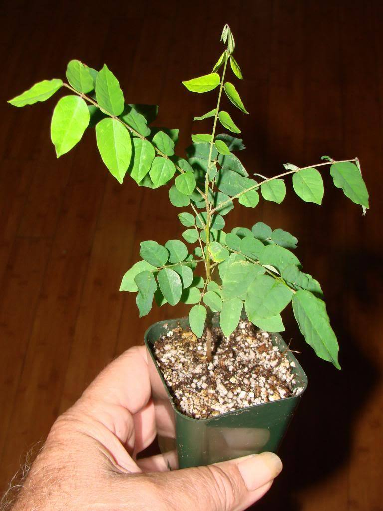 Polynesian Produce Stand Starfruit Averrhoa Carambola