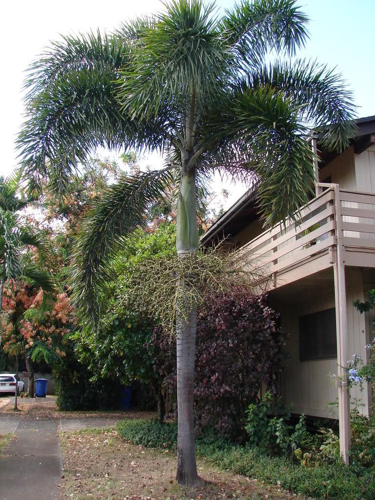 Polynesian Produce Stand 10 Foxtail Palm Tree Wodyetia