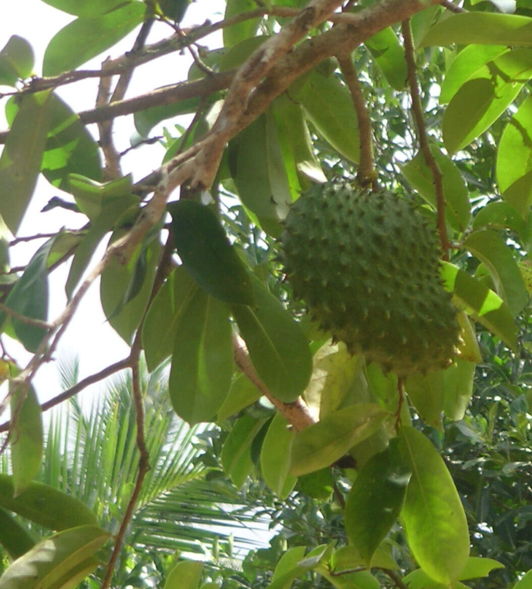 polynesian produce stand soursop annona muricata fruit tree guanabana not bareroot 2430in potu0027d plant