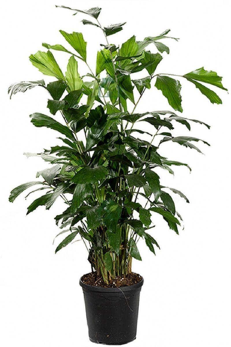 Polynesian Produce Stand Fishtail Palm Caryota Mitis