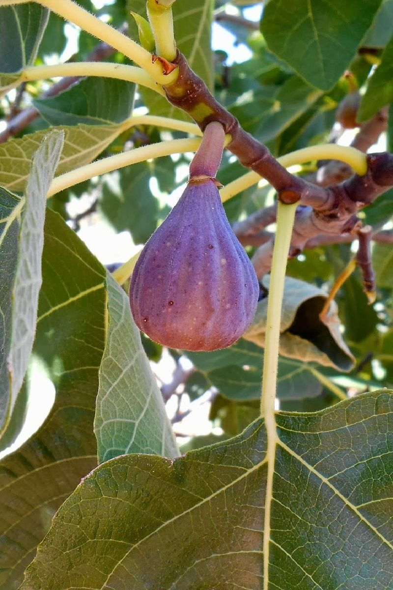 Polynesian Produce Stand Olympian Fig Tree Cold Hardy Ficus Carica Sweet Yummy Live Small Potted Plant