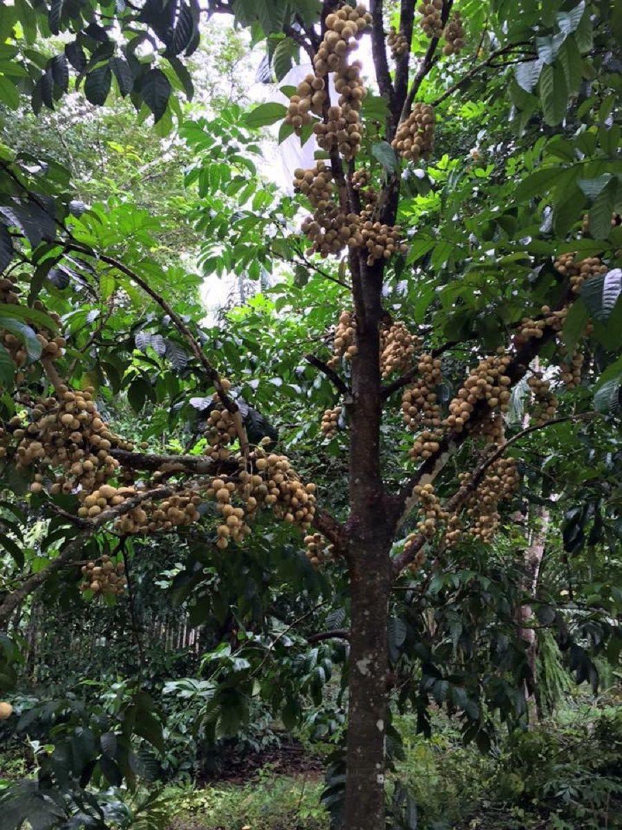 Polynesian Produce Stand Longkong Rare Fruit Tree