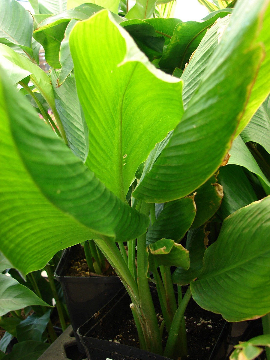 Turmeric - Advice From The Herb Lady |Turmeric Plant Root