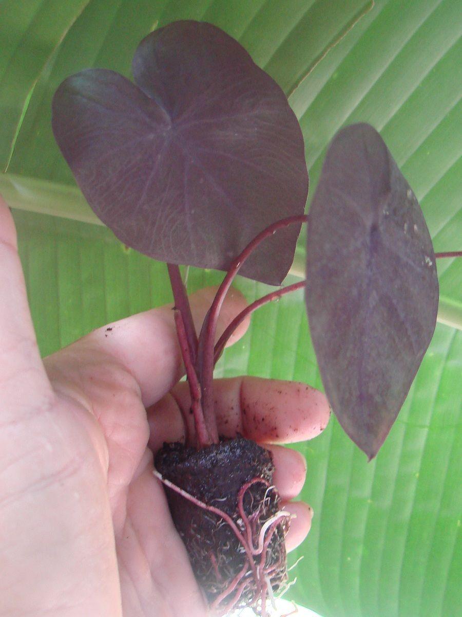 Polynesian Produce Stand Black Coral Elephant Ear Taro
