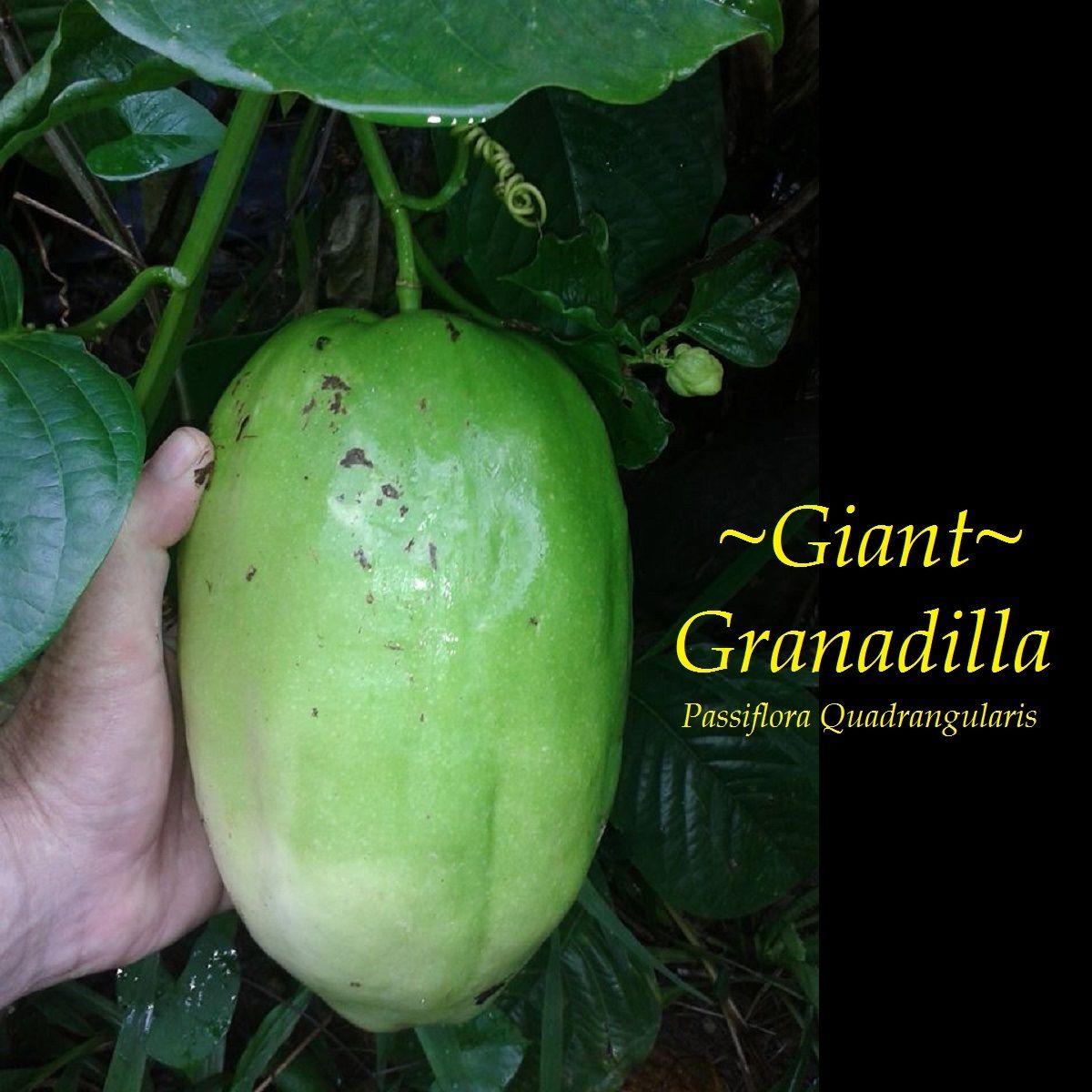 Polynesian Produce Stand Giant Granadilla Passiflora