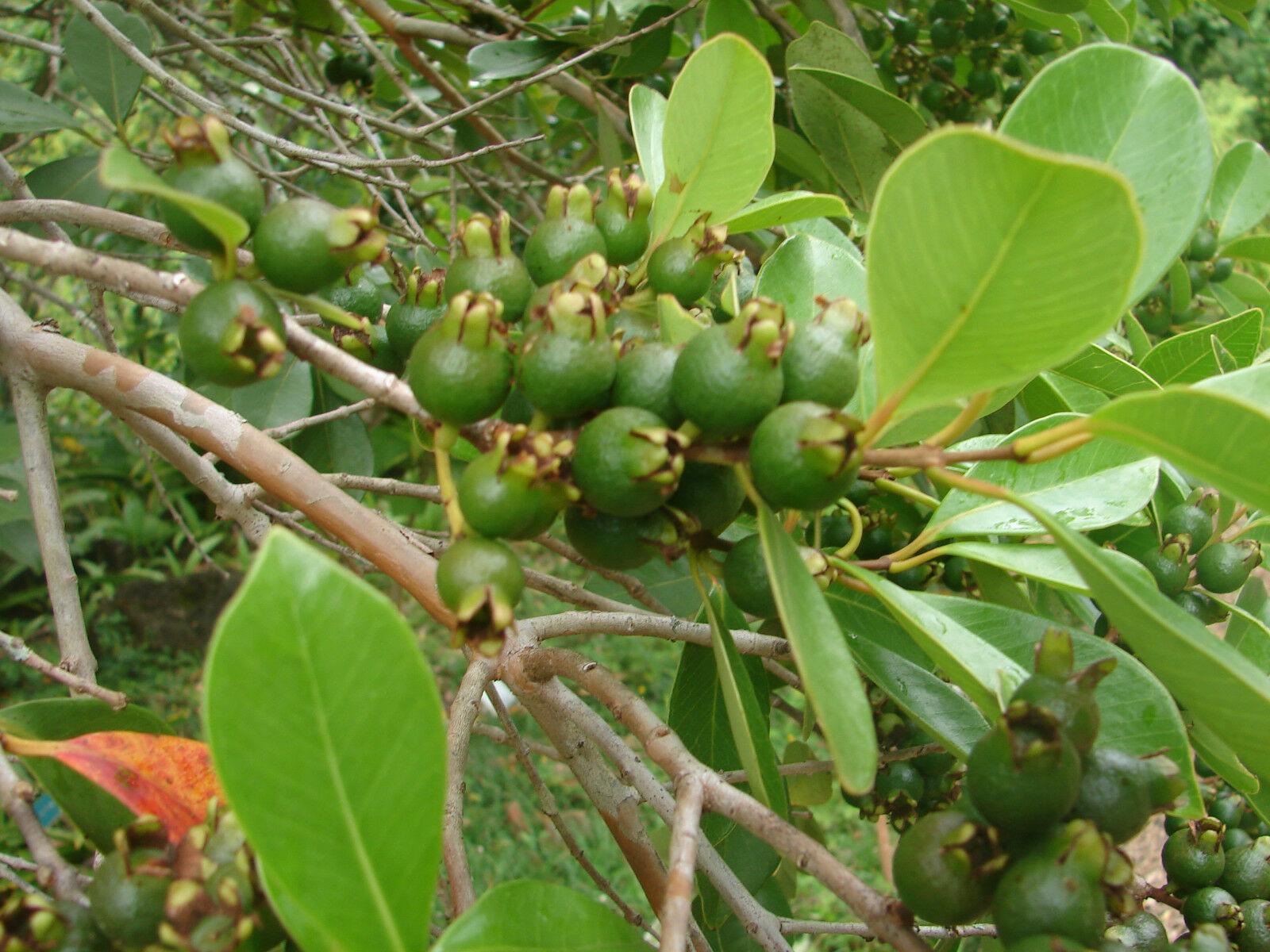 Polynesian Produce Stand Lemon Guava Psidium