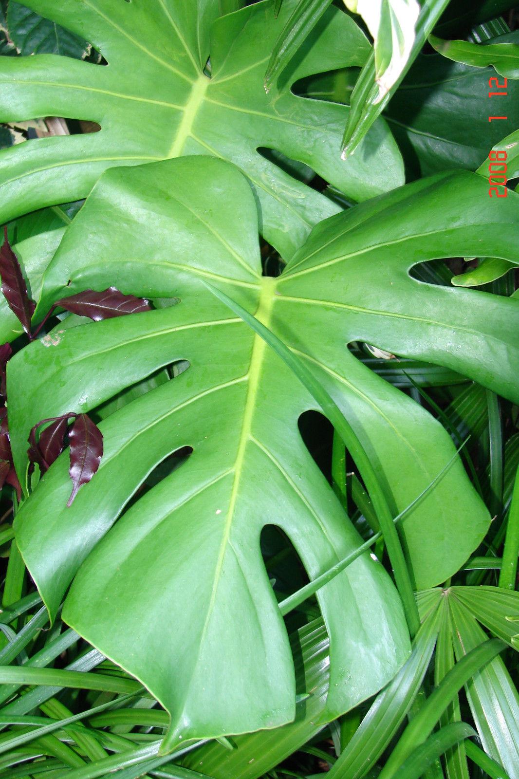Polynesian Produce Stand : ~WINDOWLEAF~ MONSTERA DELICIOSA ...