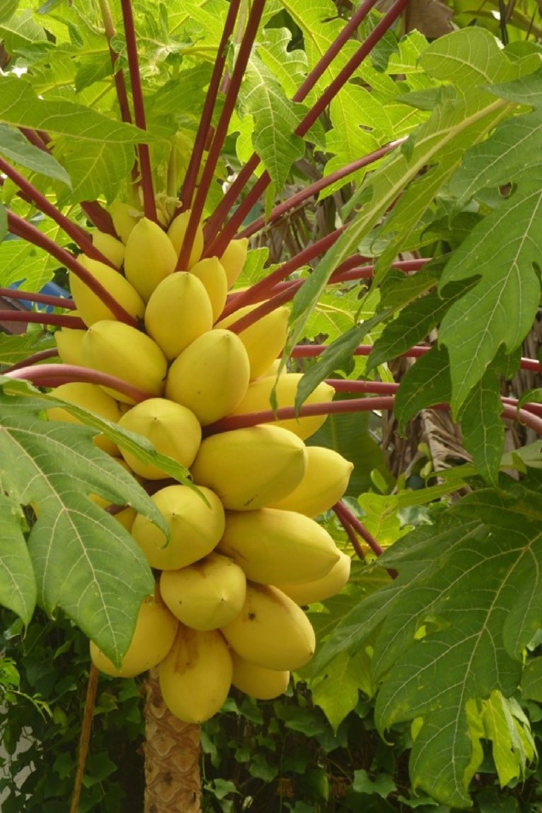 Polynesian Produce Stand Golden Thai Dwarf Papaya