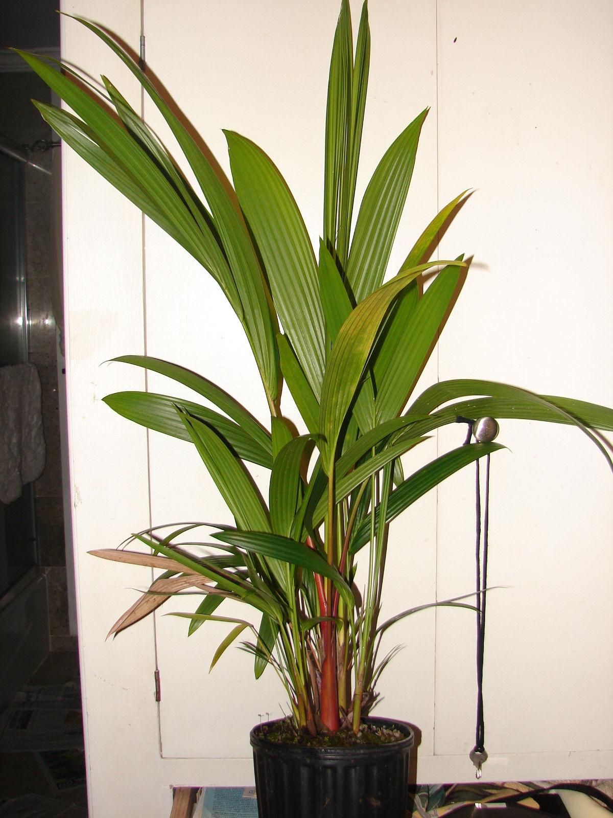 Polynesian Produce Stand Lipstick Palm Cyrtostachys