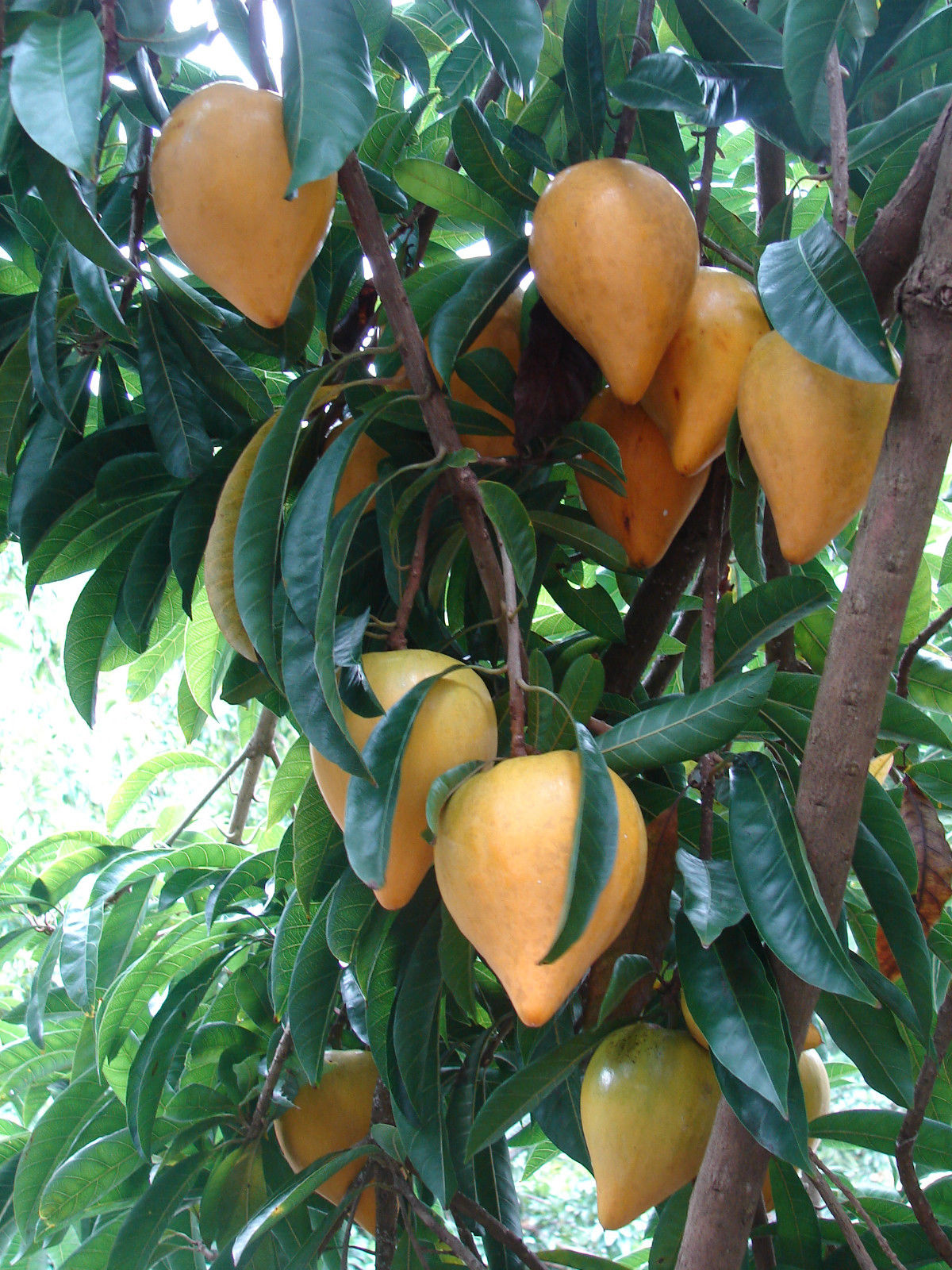 Polynesian Produce Stand Canistel Fruit Tree Yellow