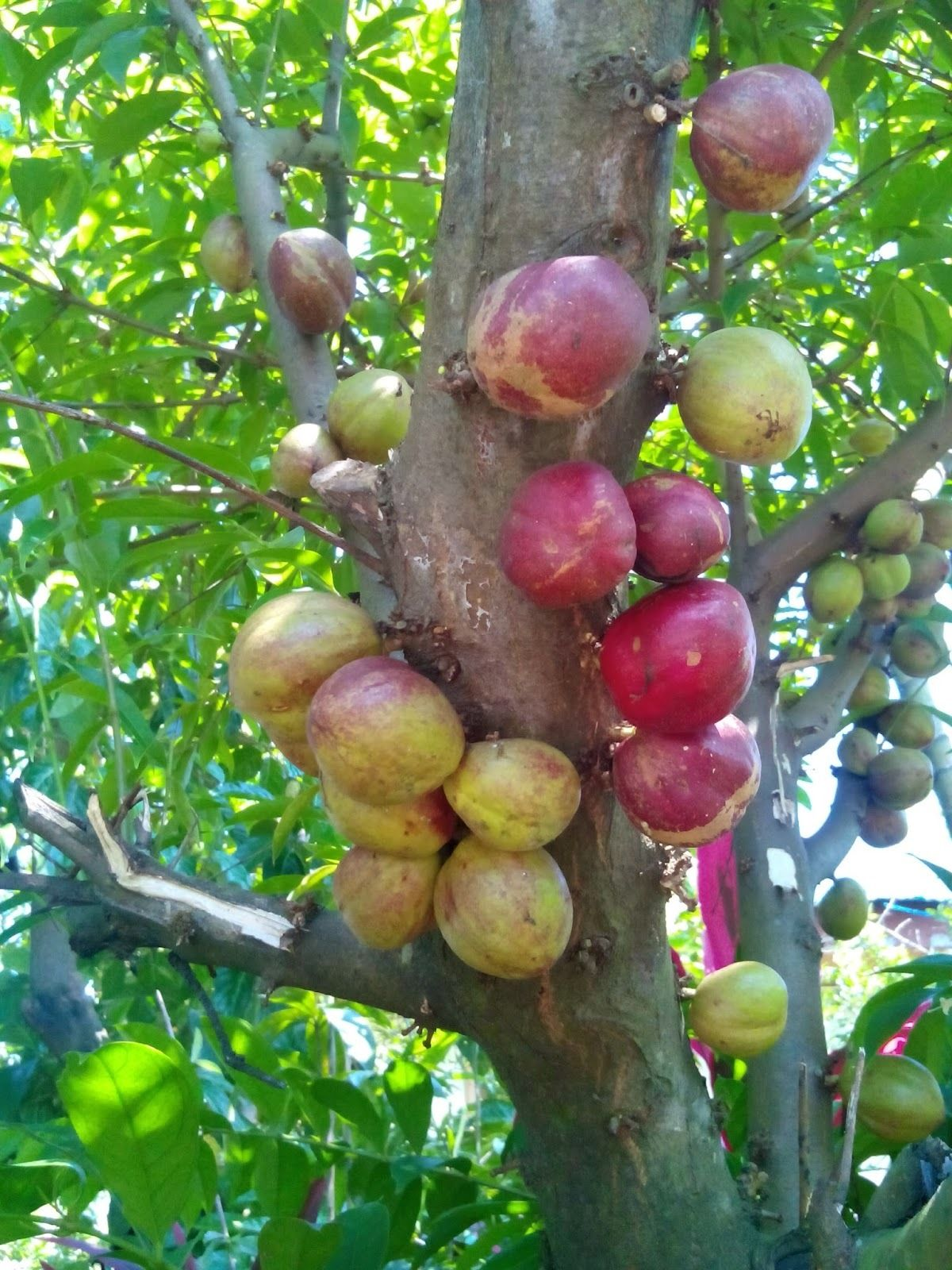 Polynesian Produce Stand God S Crown Mahkota Dewa