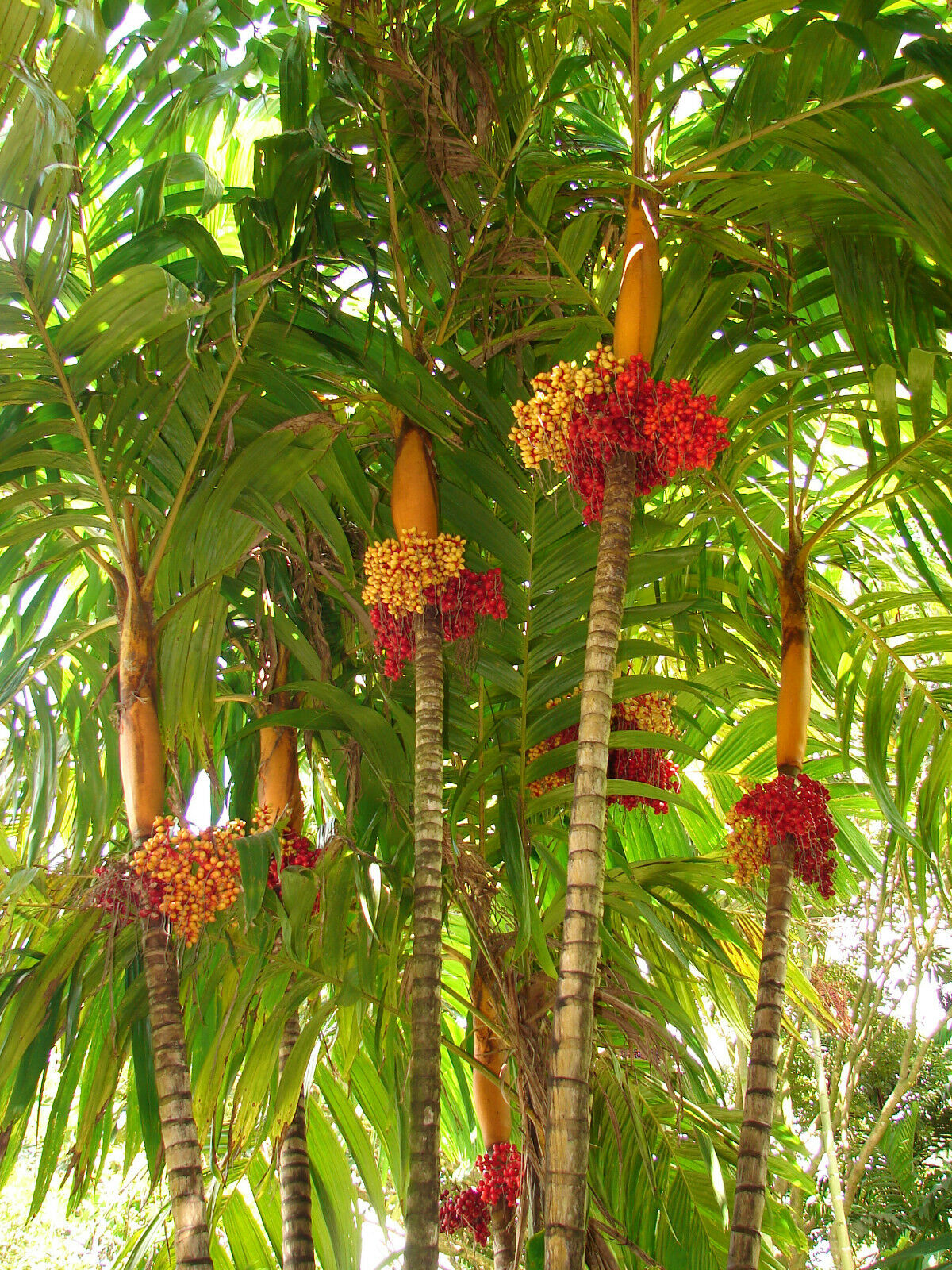 Polynesian Produce Stand Orange Collar Palm Colorful