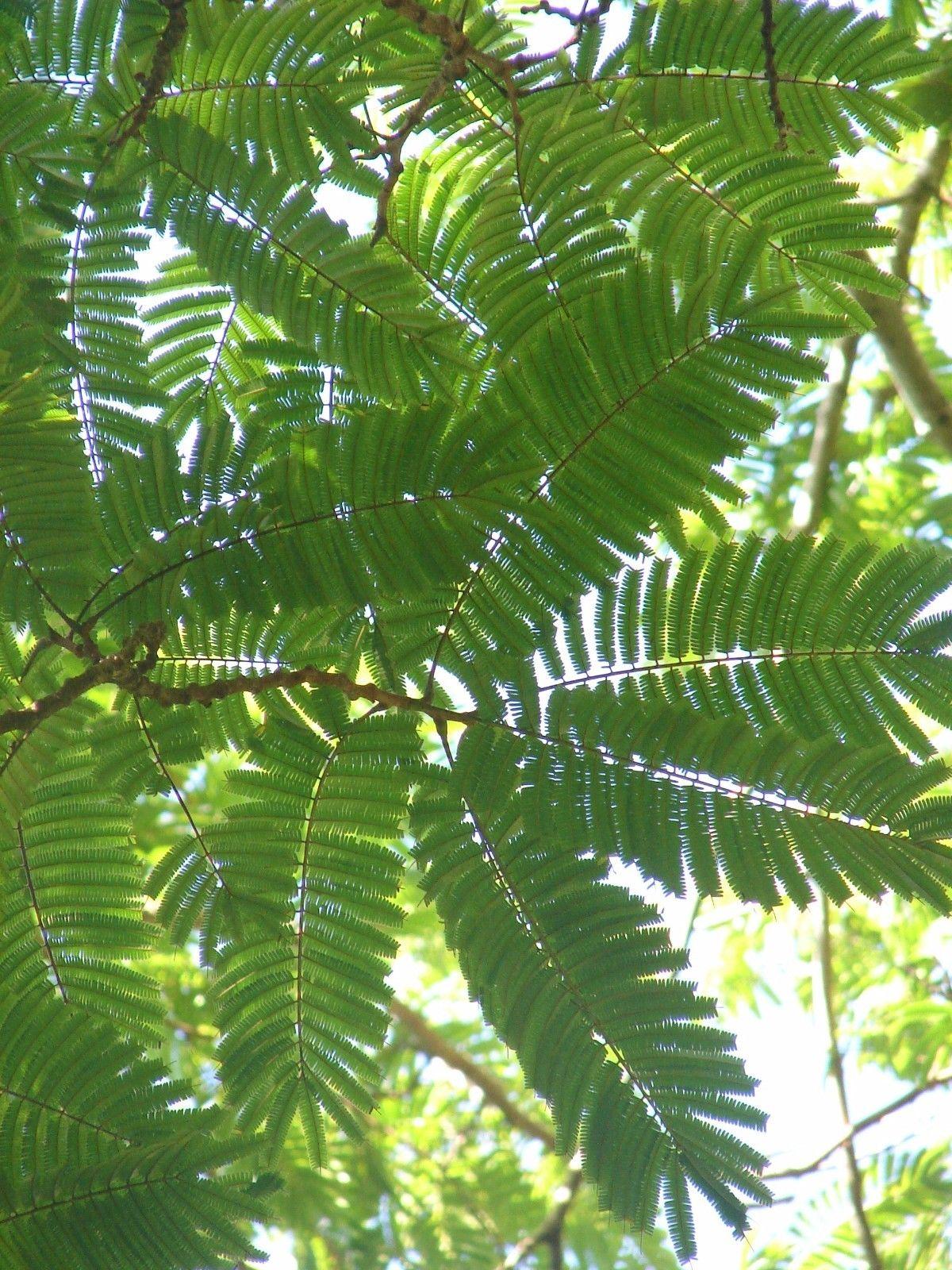 Polynesian Produce Stand Petai Parkia Speciosa Stink
