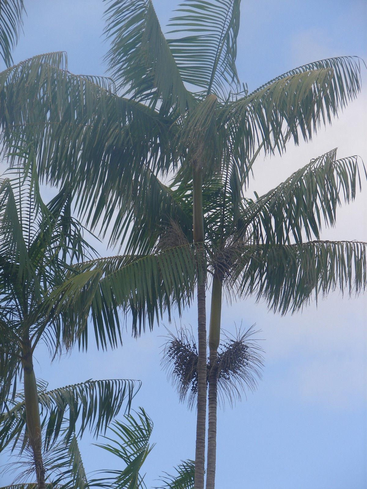 Polynesian Produce Stand Acai Palm Tree Euterpe