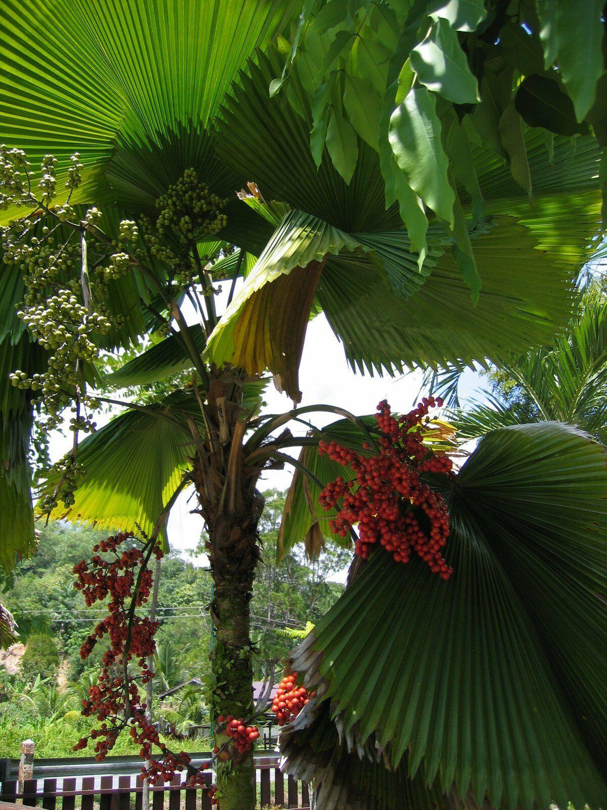 Outdoor Stand Fan Palm : Polynesian produce stand licuala grandis ruffled fan