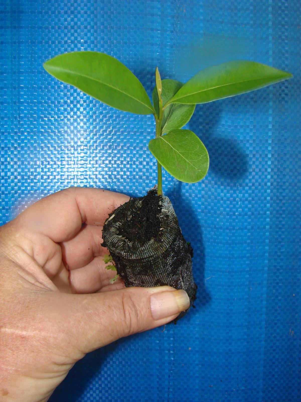 polynesian produce stand sapodilla manilkara zapota cv alano chico sapote zapote nispero live seedling