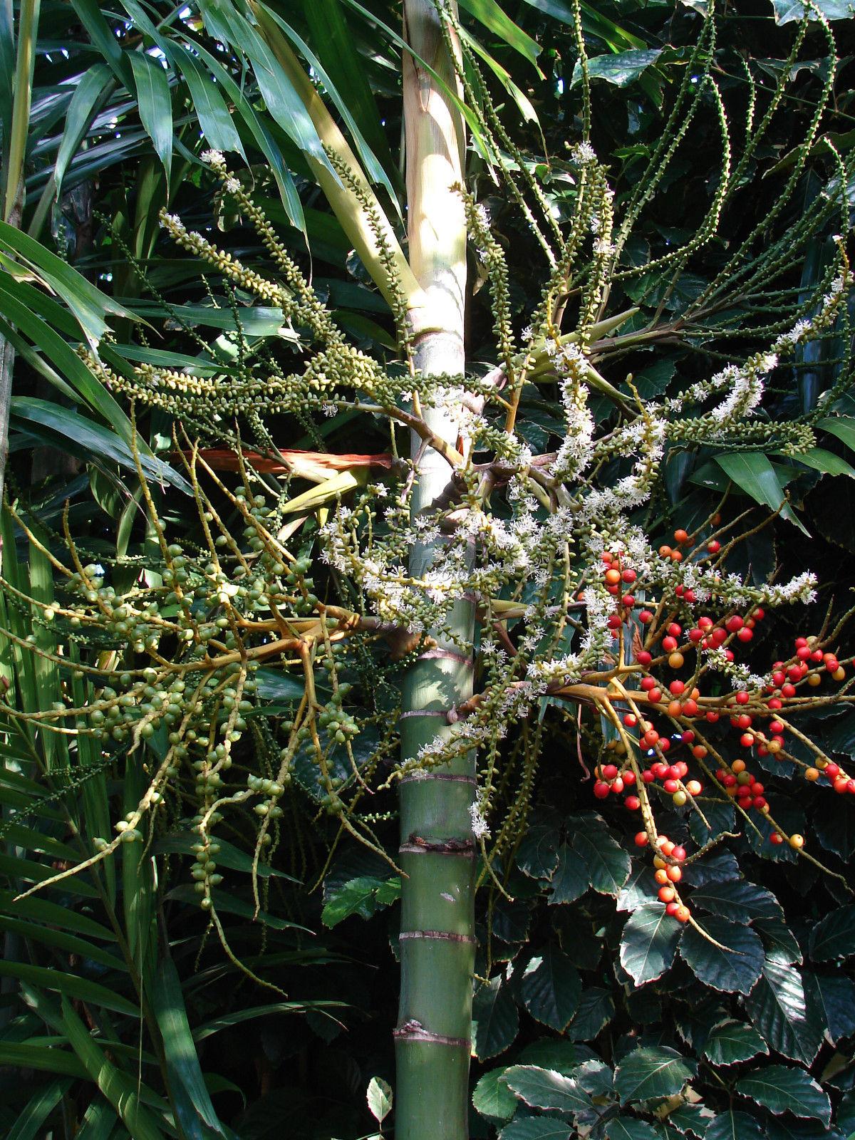 Polynesian Produce Stand 50 Seeds Macarthur Palm