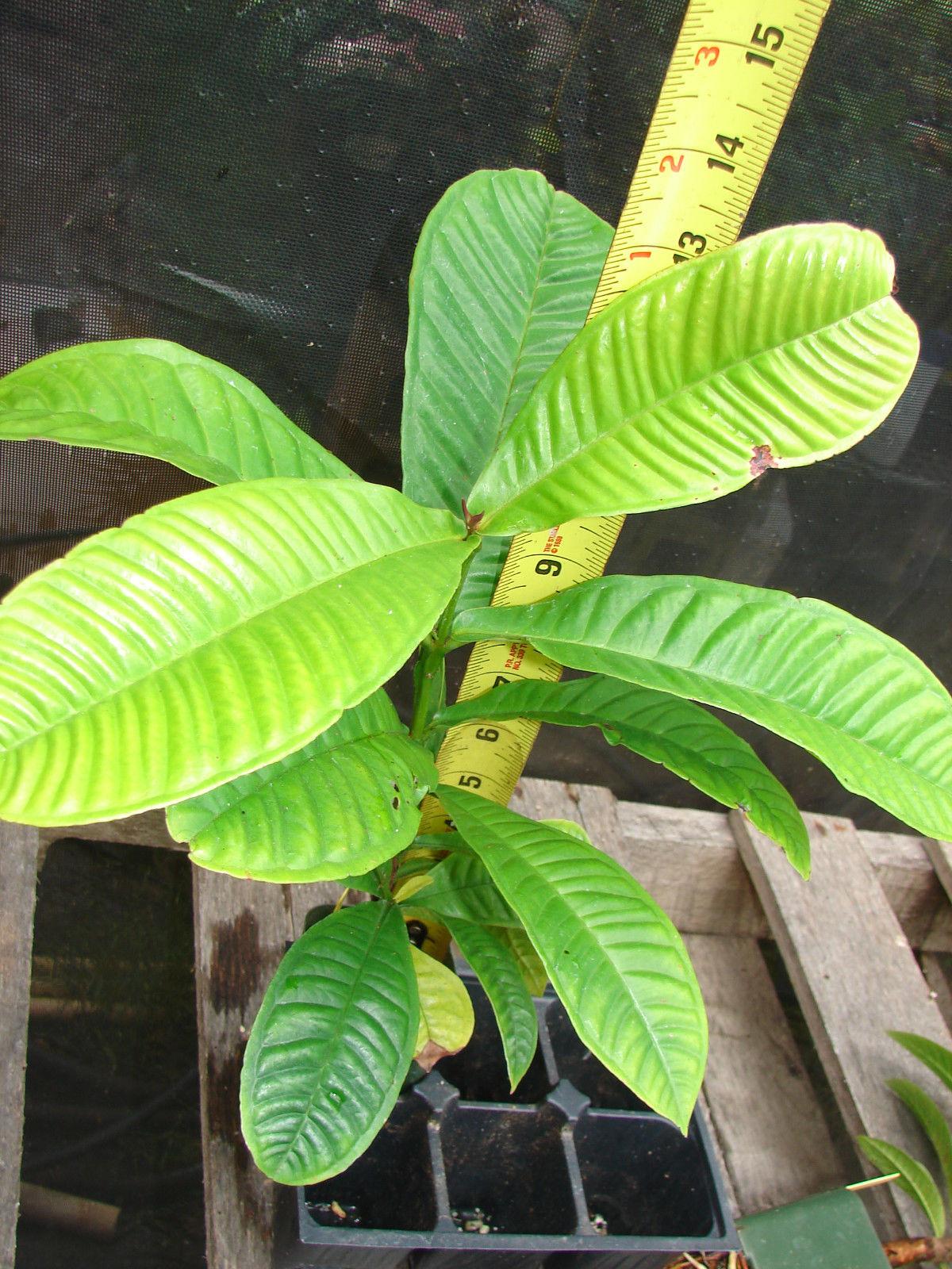Polynesian Produce Stand Gowak Syzygium Polycephalum