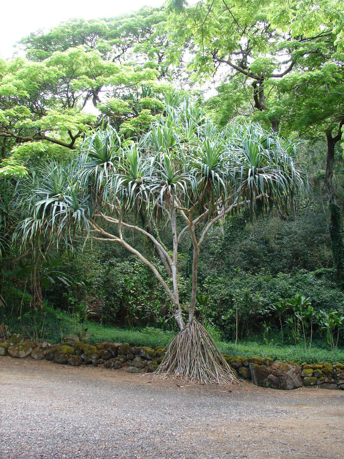 Polynesian Produce Stand Hawaiian Hala Stilt Root