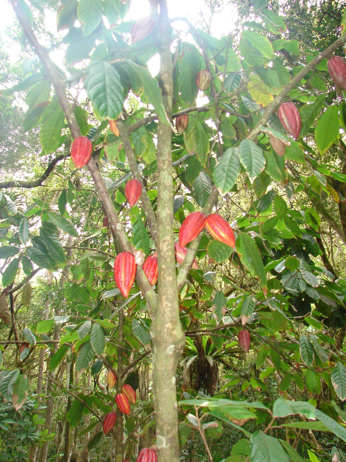 Polynesian Produce Stand Chocolate Tree Theobroma