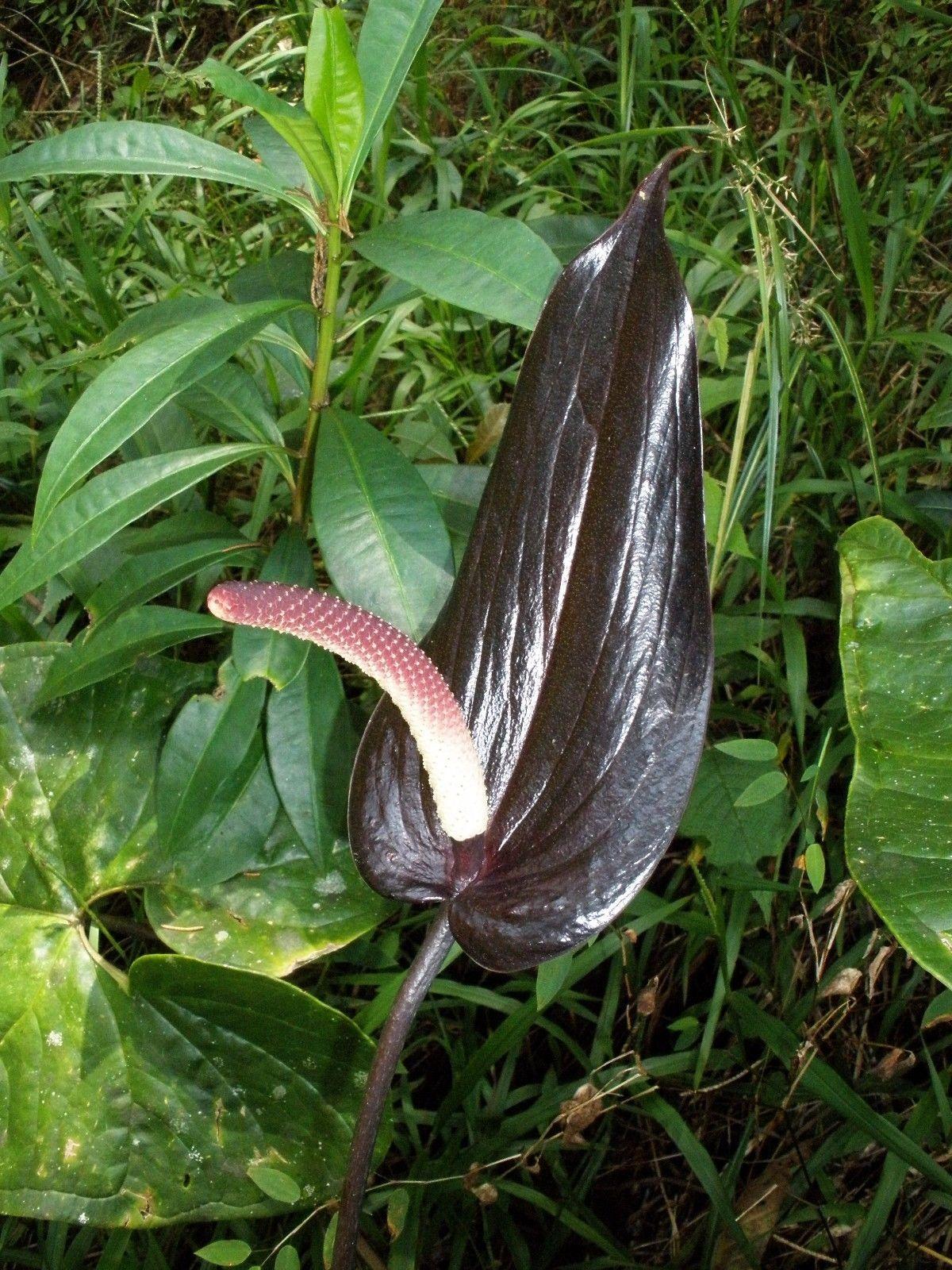 ~BLACK PRINCE~ Anthurium watermaliense RARE Species Live medium Potted Plant