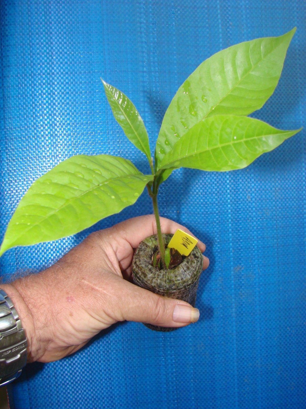Polynesian Produce Stand Abiu Pouteria Caimito The