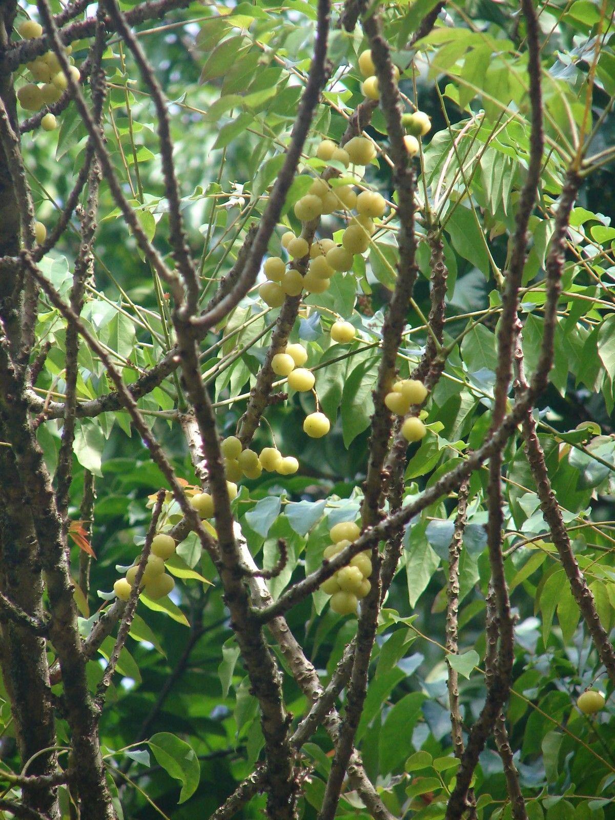 Polynesian Produce Stand Groselha Fruit Tree