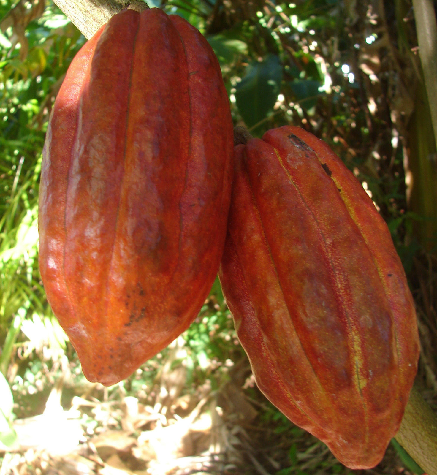 Chocolate Tree Cacao Images - Reverse Search