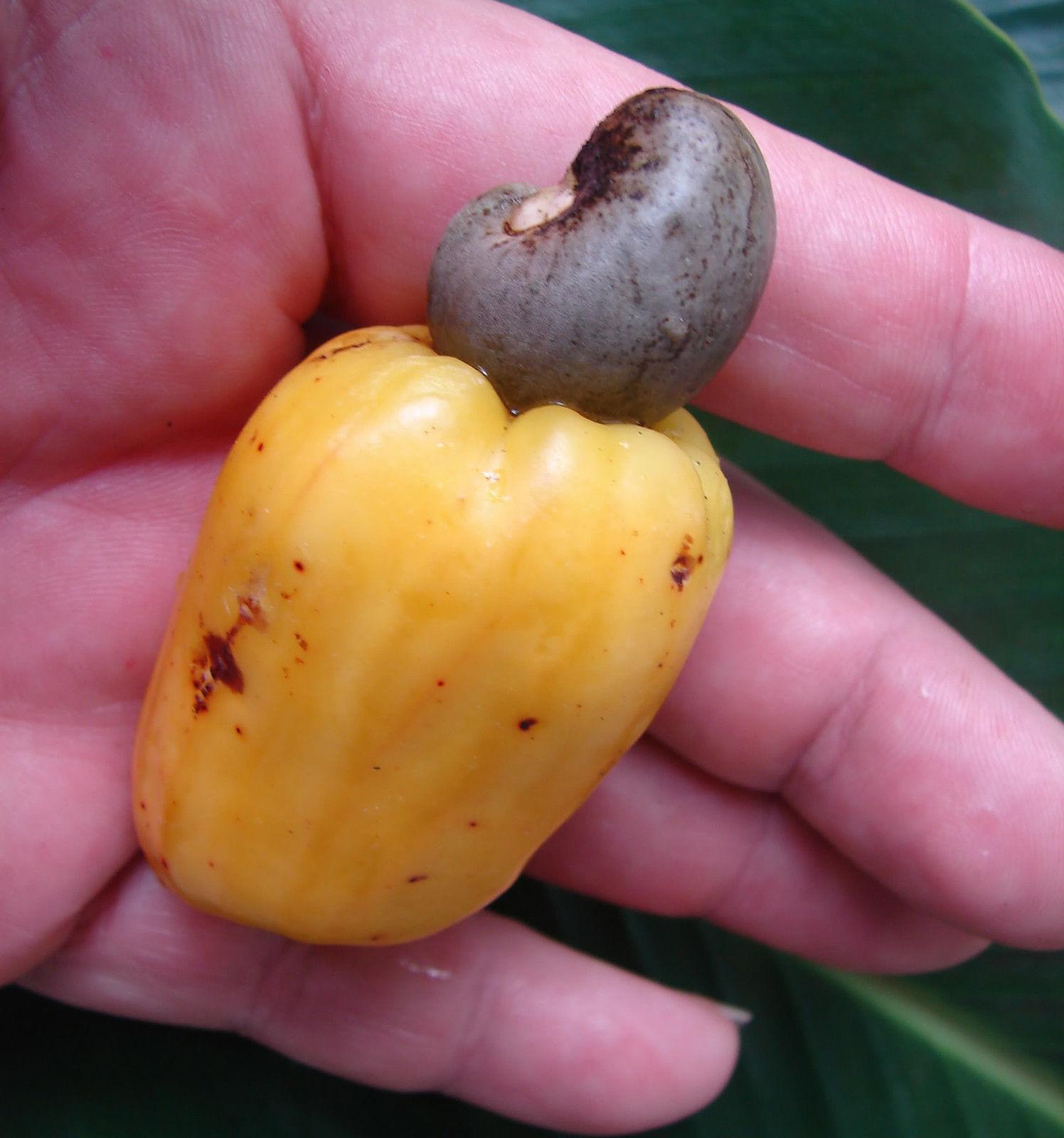 Polynesian Produce Stand Cashew Nut Anacardium