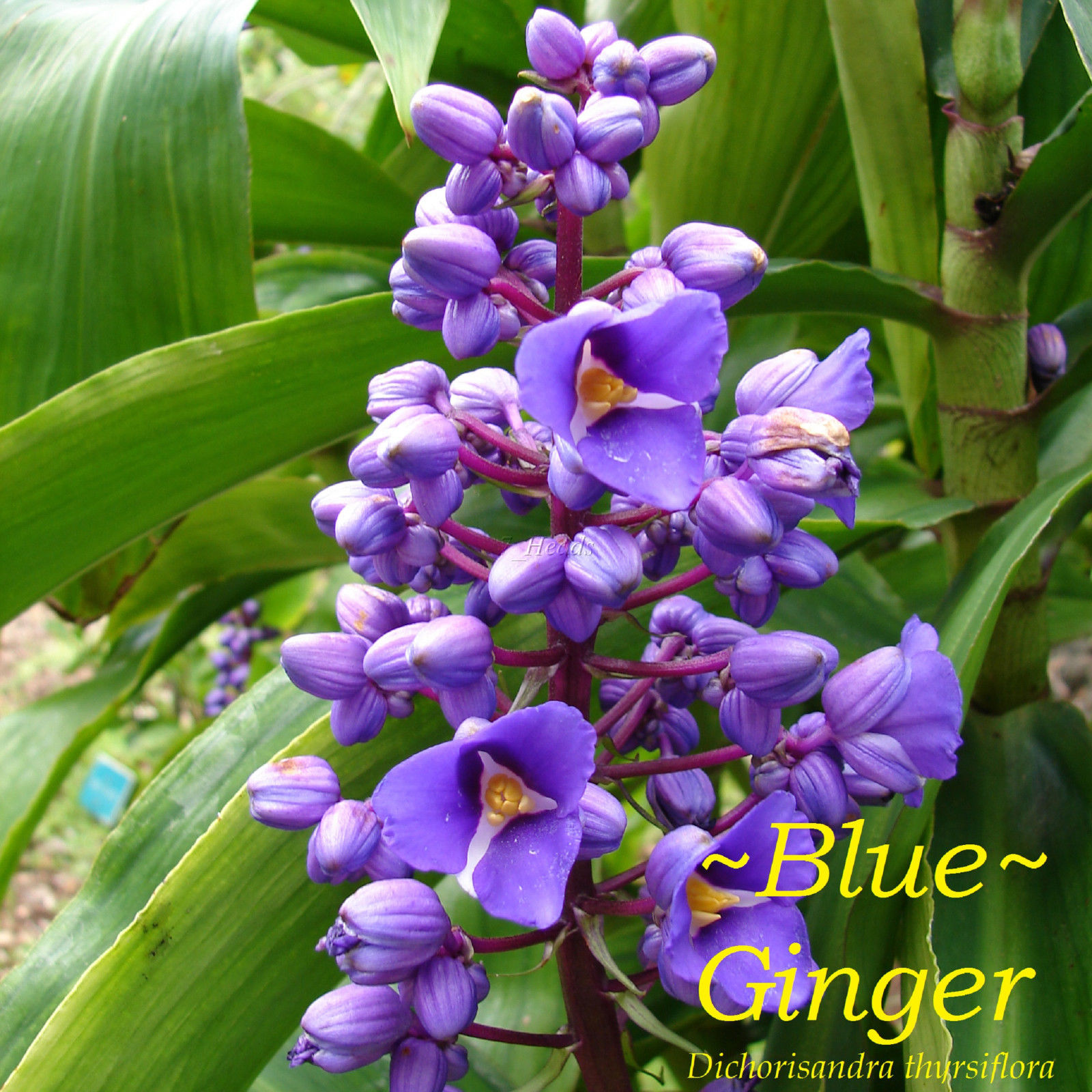 ginger plant care instructions