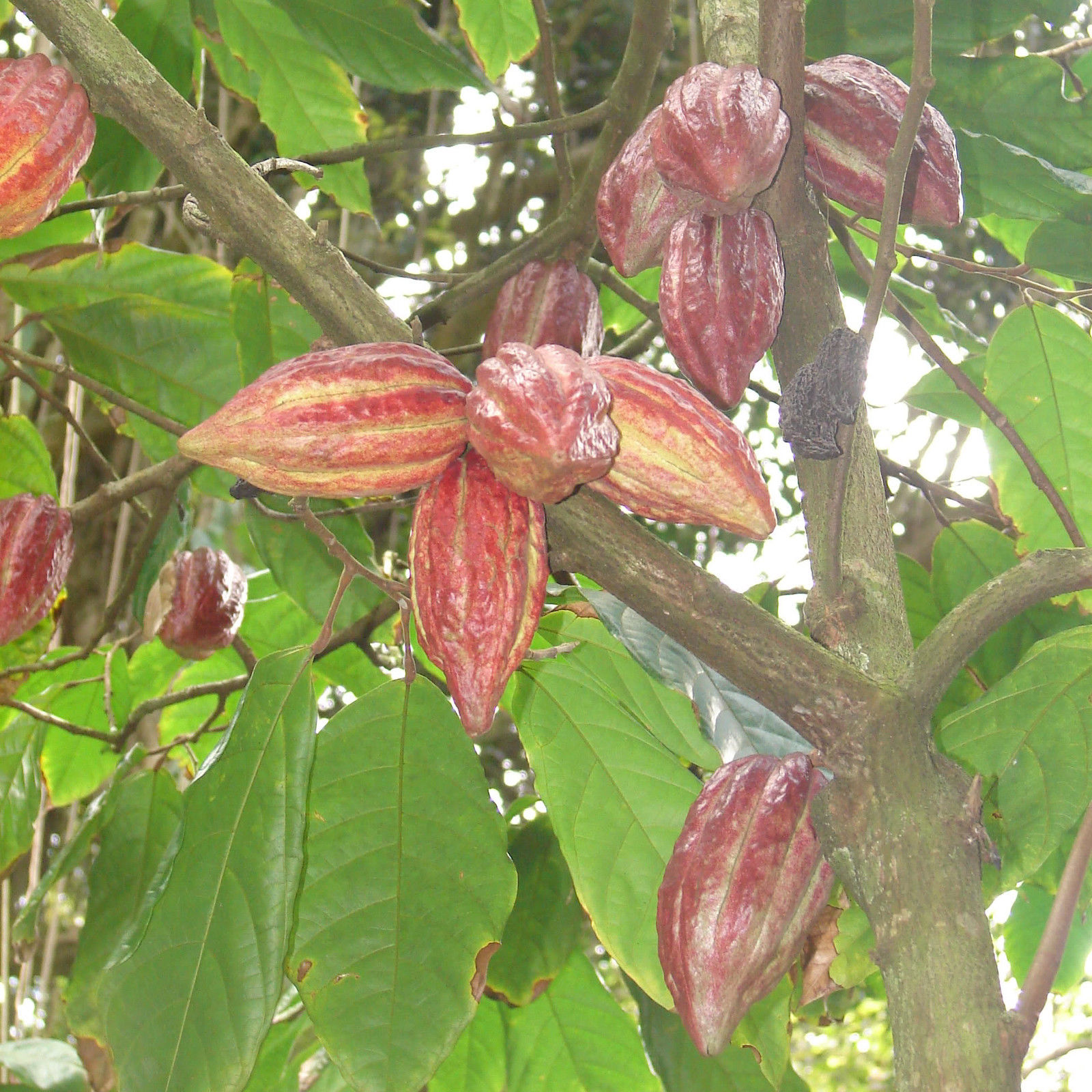 chocolate and the cacao plant essay Dark chocolate is healthy chocolate  what is it about dark chocolate the answer is plant phenols -- cocoa phenols, to be exact  chocolates made in europe are generally richer in cocoa .