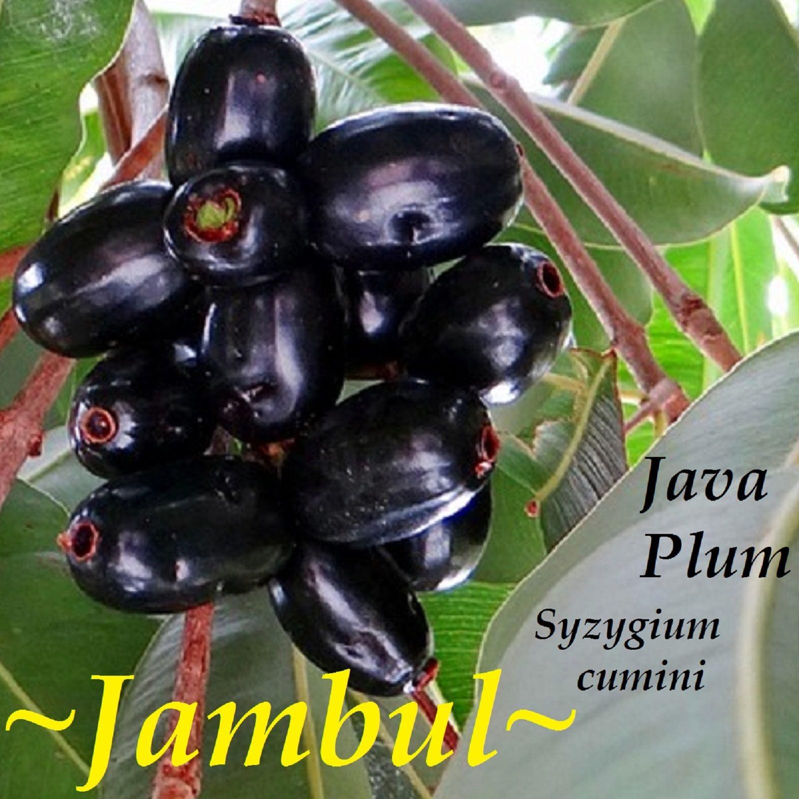 Duhat Jambolan Syzygium cumini 6-10in Indian Wax Apple JAMUN Java Plum