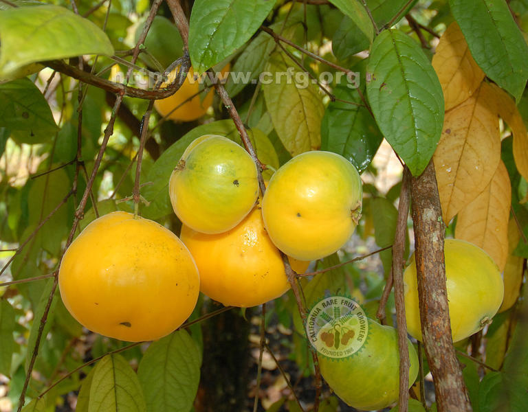 Polynesian Produce Stand Araca Boi Eugenia Stipitata