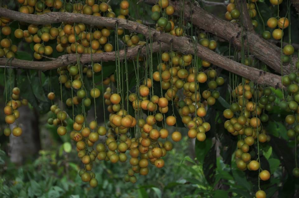 Polynesian Produce Stand Burmese Grape Baccuarea