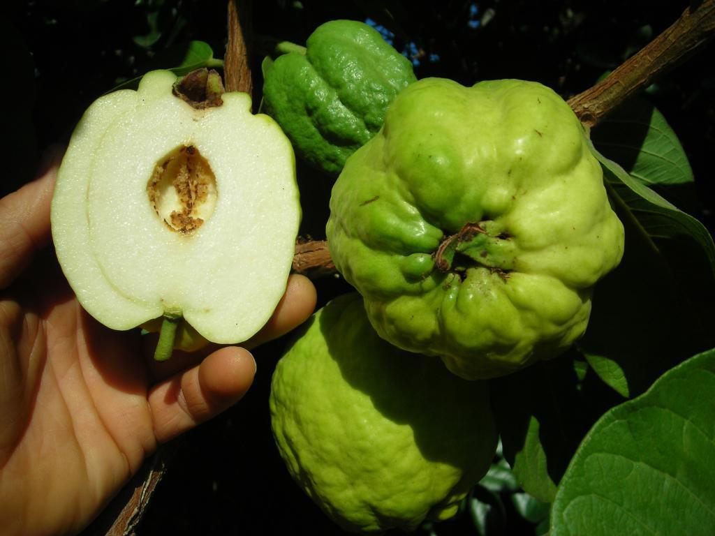 Polynesian Produce Stand Indonesian Seedless Guava