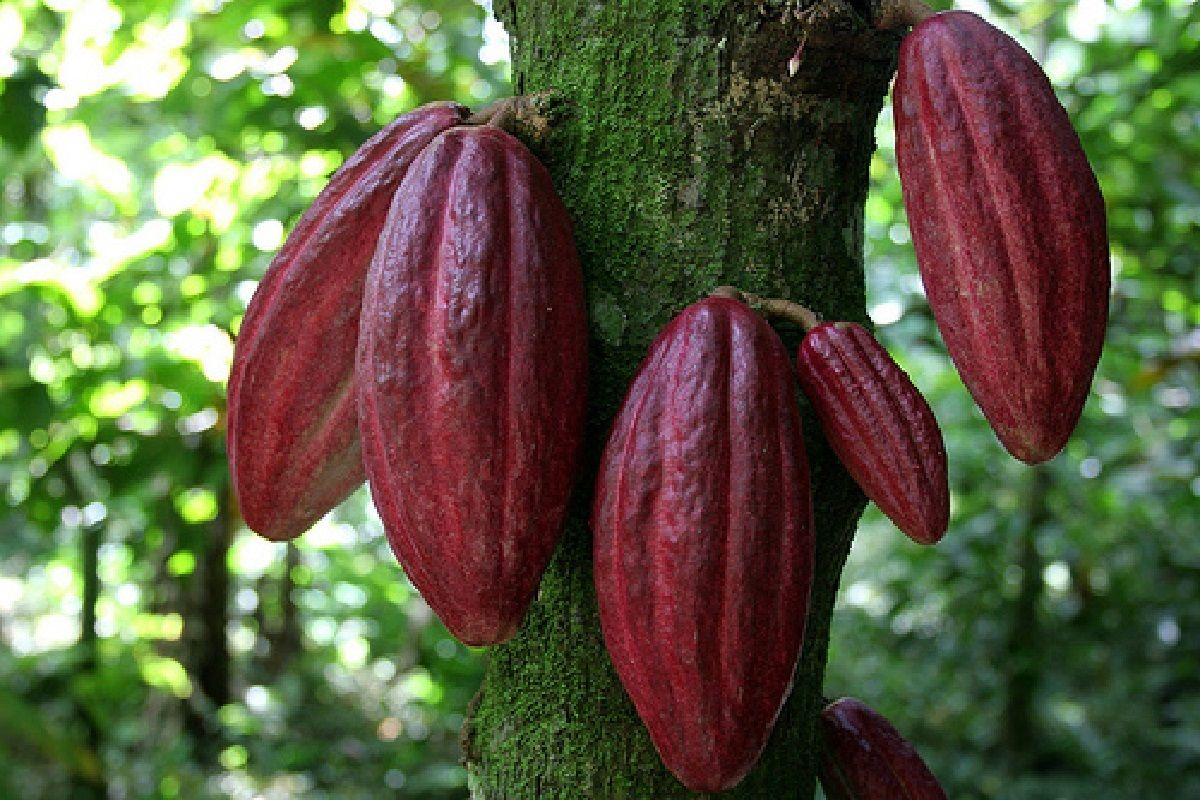 Polynesian Produce Stand Red Cacao Seedling Cocoa
