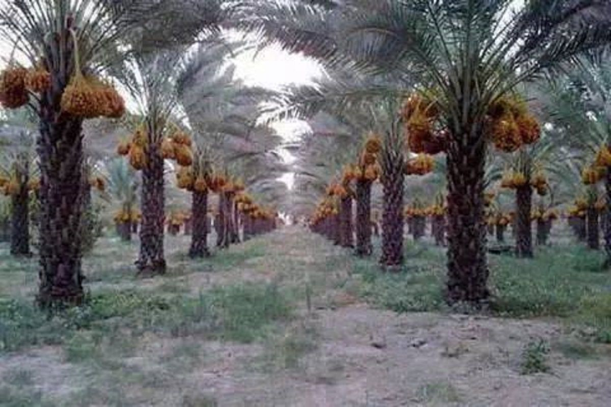 Polynesian Produce Stand Edible Date Palm Degelet Noor