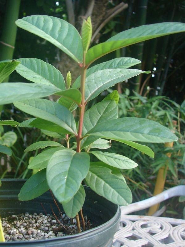 Polynesian Produce Stand Crystal Seedless Guava Yummy