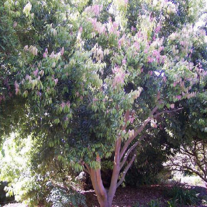 Polynesian Produce Stand : ~CINNAMON BARK TREE~ Cassia ...