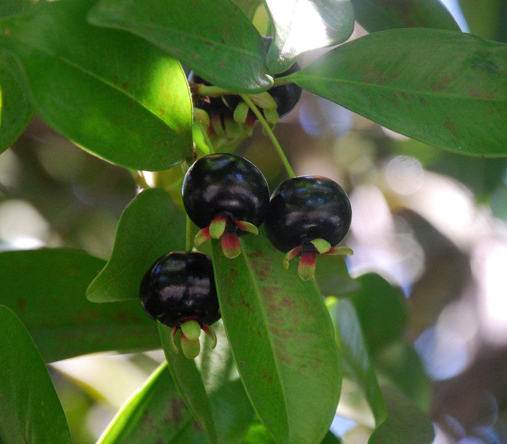 Polynesian Produce Stand Grumichama Eugenia