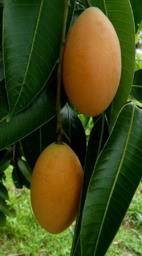 Polynesian Produce Stand Maprang Bouea Macrophylla