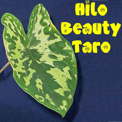Polynesian Produce Stand Alocasia Hilo Beauty Taro