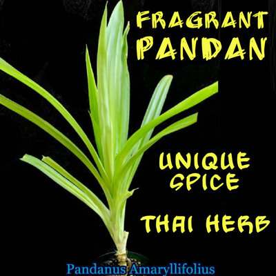 3 live rhizome Pandan fragrant Leaves Pandanus amaryllifolius Rooted live Plant