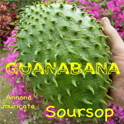 ... SOURSOP~ Annona muricata Tropical Fruit Tree Guanabana LIVE 12-18+in