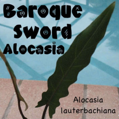 Polynesian Produce Stand Live Baroque Sword Elephant Ear