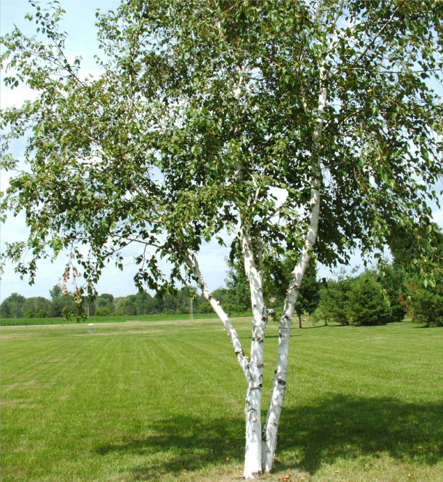 Buy Trees and Shrubs Online For Less : Paper Canoe Birch Tree (2-4 ...