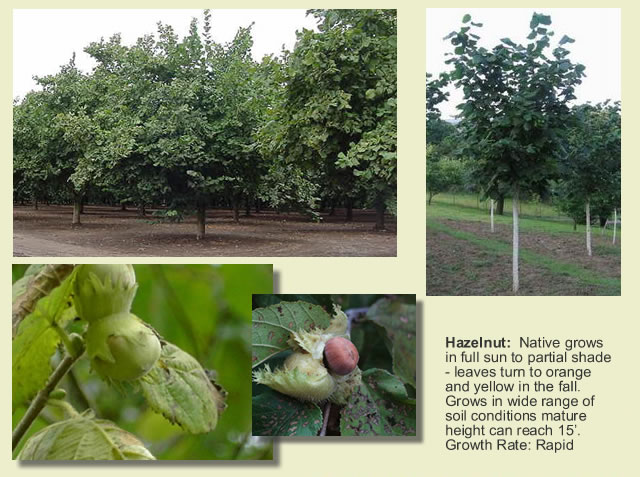 hazelnut tree planting instructions