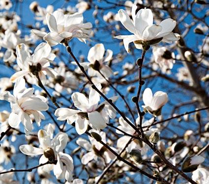 star magnolia tree pictures. Star Magnolia Tree